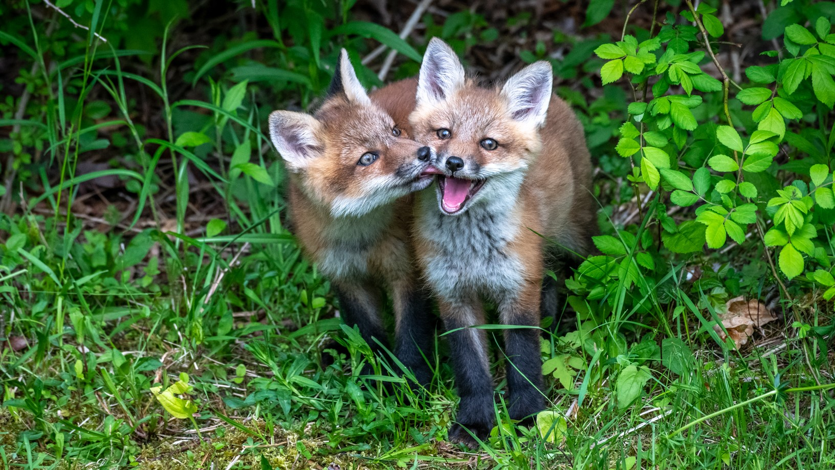 COVID,city,foxes