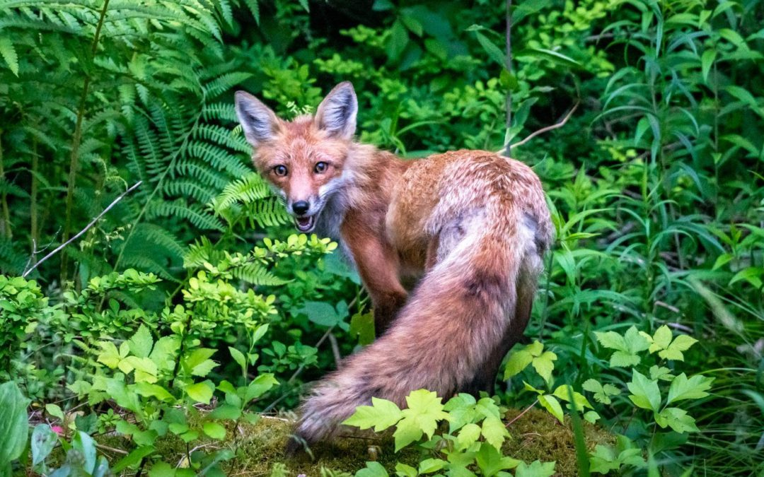 COVID has given me, a city boy, the joy of discovering foxes